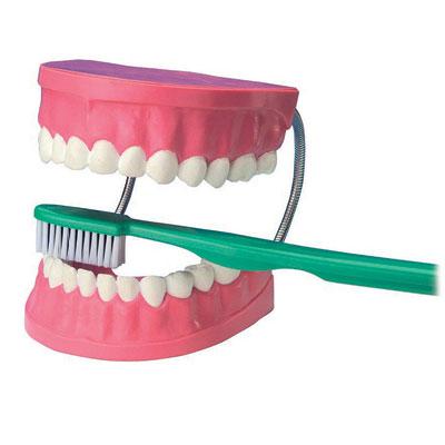 Giant Dental Care Model - CD03089