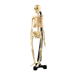 Mini Desktop Skeleton Model - 46cm