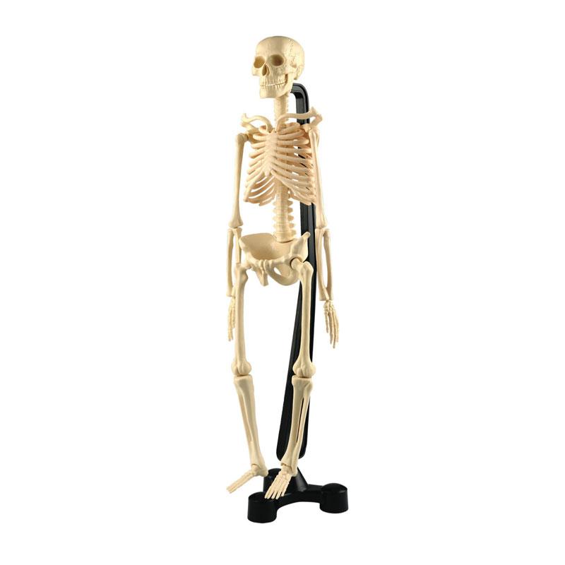 Mini Desktop Skeleton Model - 46cm - CD03062