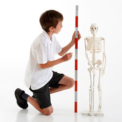 Half-Scale Skeleton - 85cm
