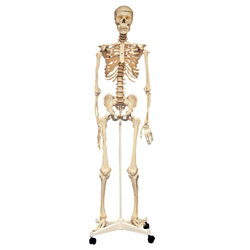 Life Size Skeleton - 160cm [CD03067]