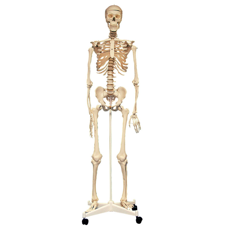Life Size Skeleton - 160cm - CD03067