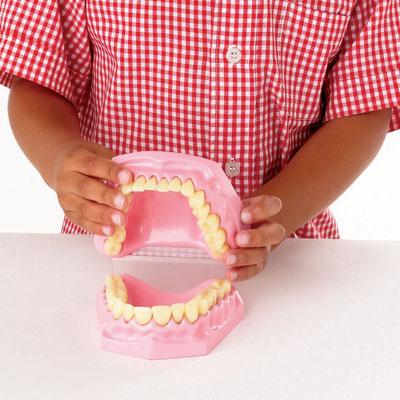 Anatomical Teeth Dental Set - CD03091