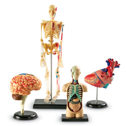 Anatomy Model Set - by Learning Resources