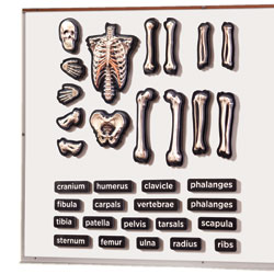 3D Magnetic Skeleton - by Educational Insights
