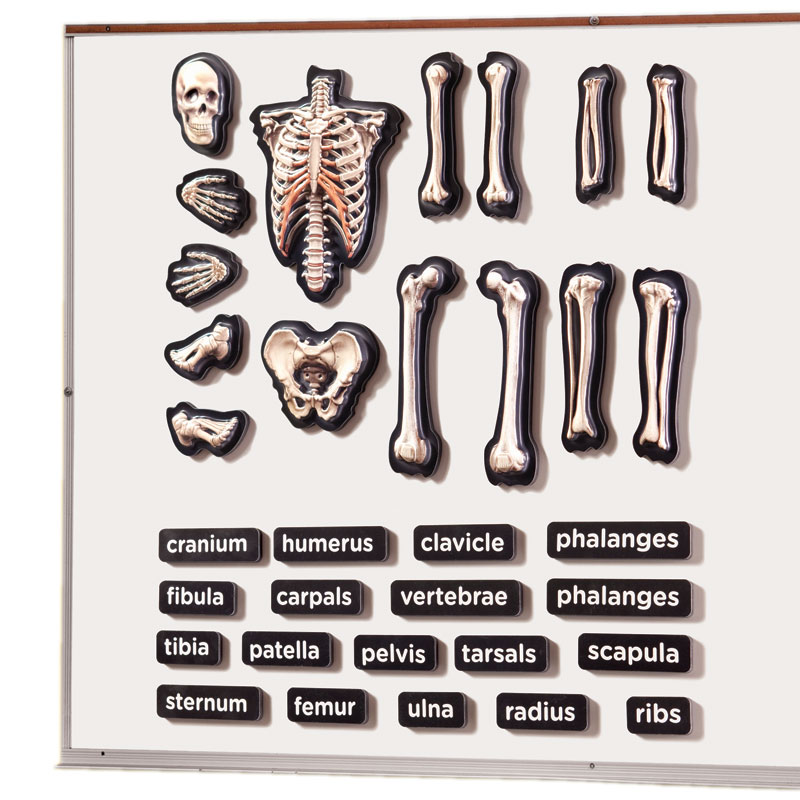 3D Magnetic Skeleton - by Educational Insights - EI-1760