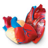 Soft Foam Cross-Section Heart Model - by Learning Resources - LER1902