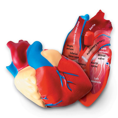 Soft Foam Cross-Section Heart Model - by Learning Resources - LER1902