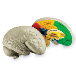 Soft Foam Cross-Section Brain Model - by Learning Resources