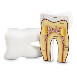 Soft Foam Cross-Section Tooth Model - by Learning Resources