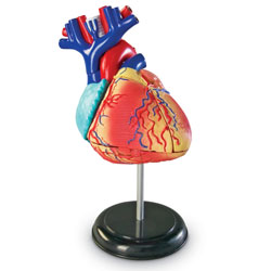 Heart Model 12.5cm - by Learning Resources