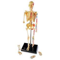 Skeleton Model 23cm - by Learning Resources