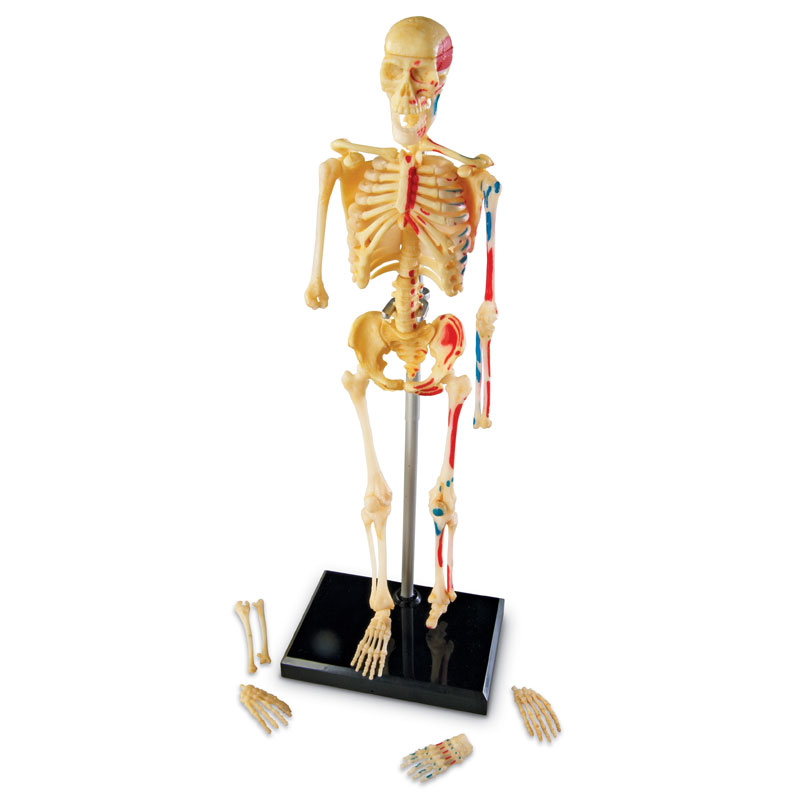 Skeleton Model 23cm - by Learning Resources - LER3337