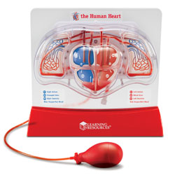 Pumping Heart Model - by Learning Resources