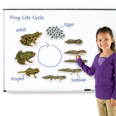 Giant Magnetic Frog Life Cycle Demonstration Set - by Learning Resources - LER6041
